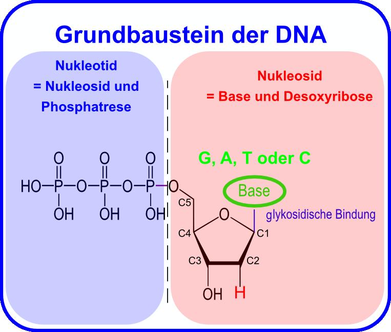 DNA – Aufbau