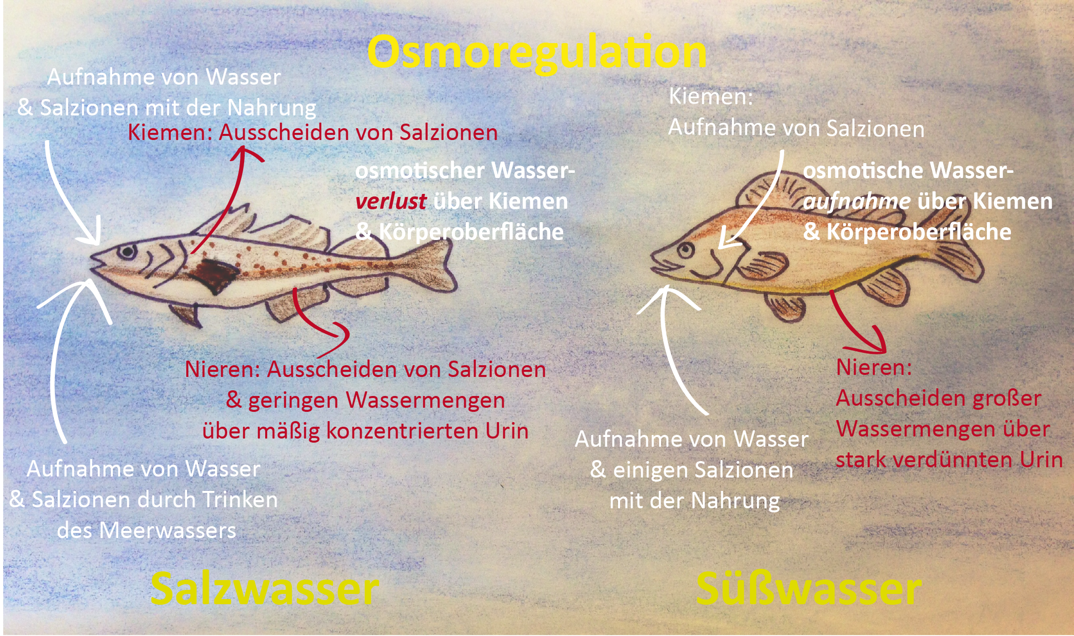 Osmoregulation der Fische in Süß- und Salzwasser by Gi Co on Prezi