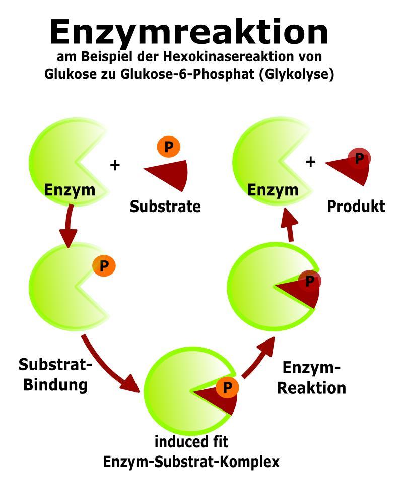 Enzymstruktur