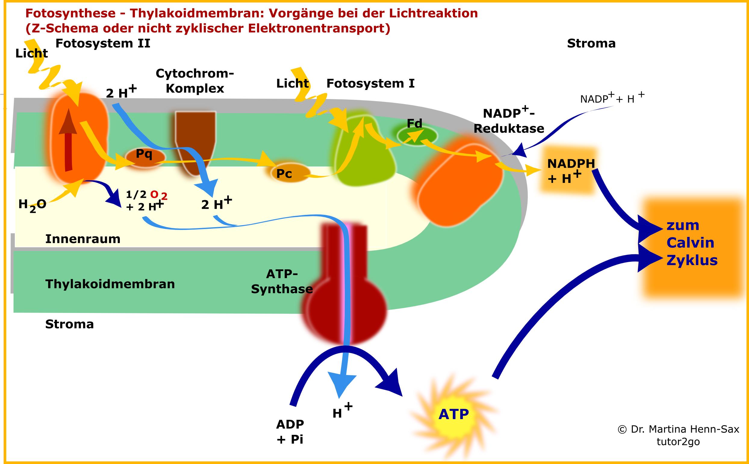 Lichtabhängige Fotosynthese