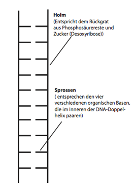 Strickleitermodell des DNA-Doppelstranges