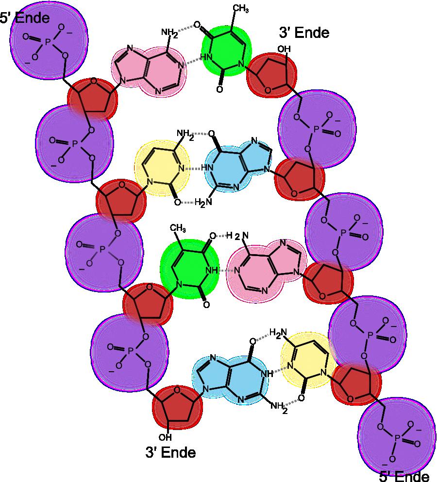 Nukleinsäuren: DNA - Organische Chemie - Online-Kurse