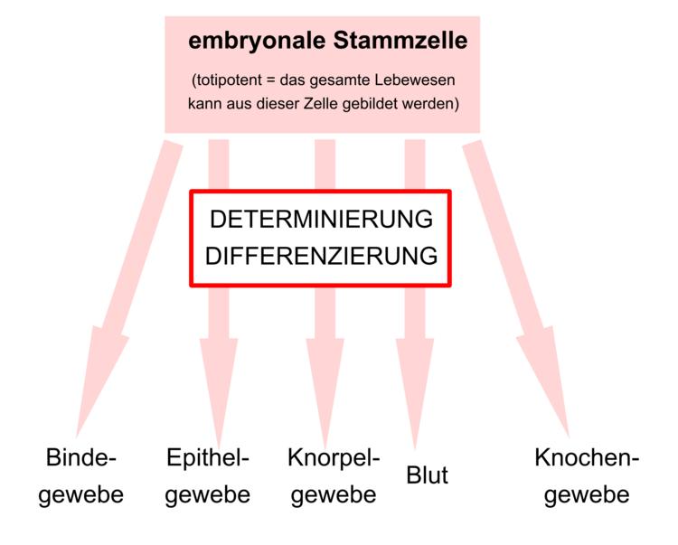 Differenzierung von Stammzellen - Zytologie