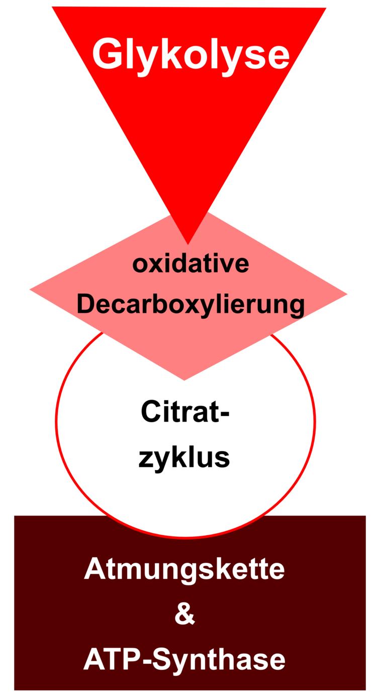 Zellatmung - Stoffwechsel - Abitur-Vorbereitung