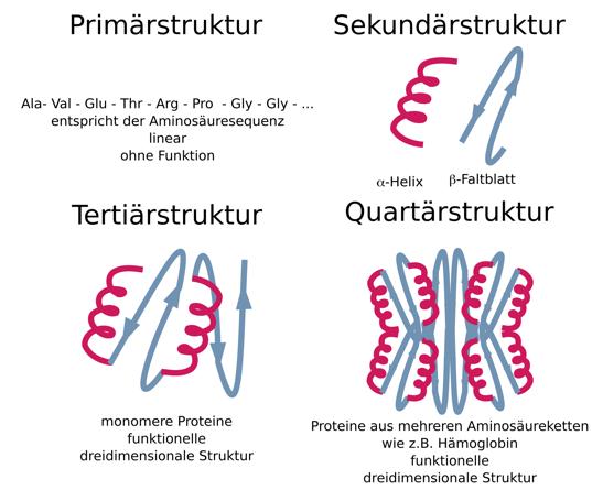 Aufbau von Proteinen - Stoffwechsel - Online-Kurse