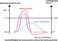 Membran-Leitf�higkeit w�hrend des Aktionspotentials