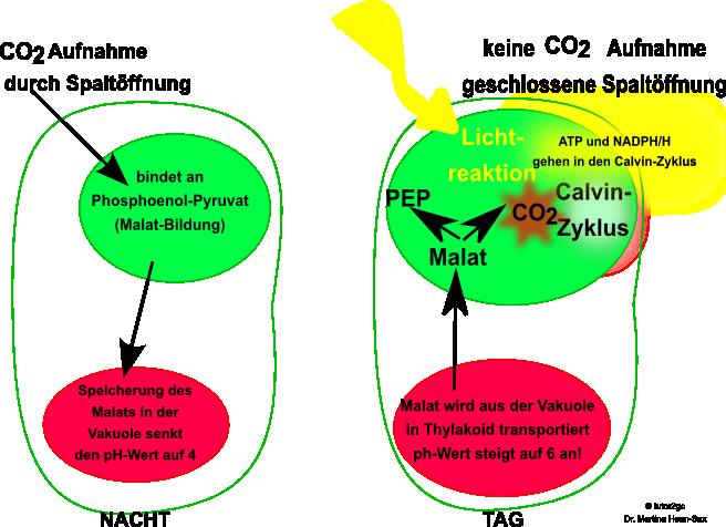 CAM-Pflanzen - Stoffwechsel - Abitur-Vorbereitung