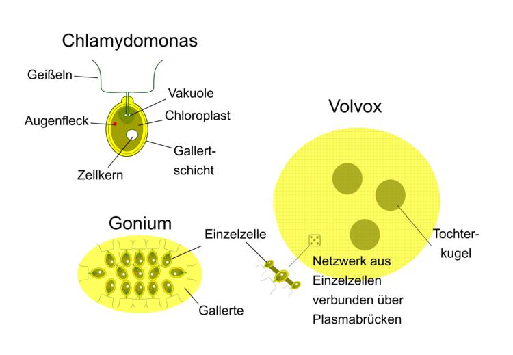 Beispiele: Vom Einzeller zum Mehrzeller - Zytologie