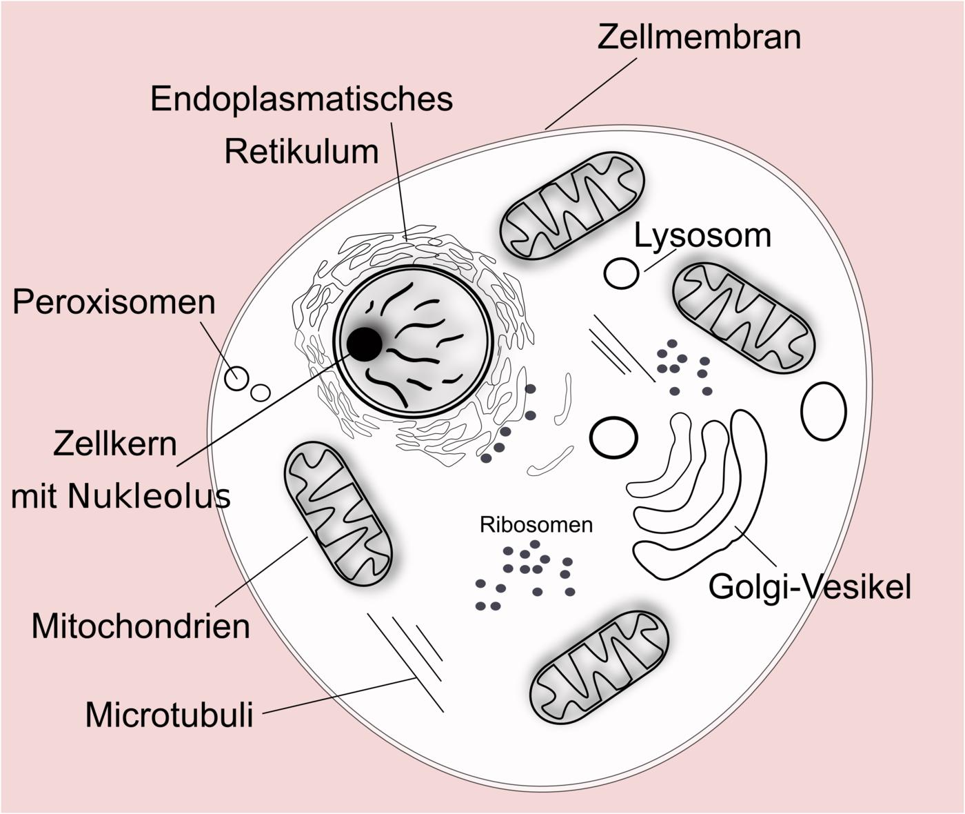 Organellen eukaryotischer Zellen   Zytologie