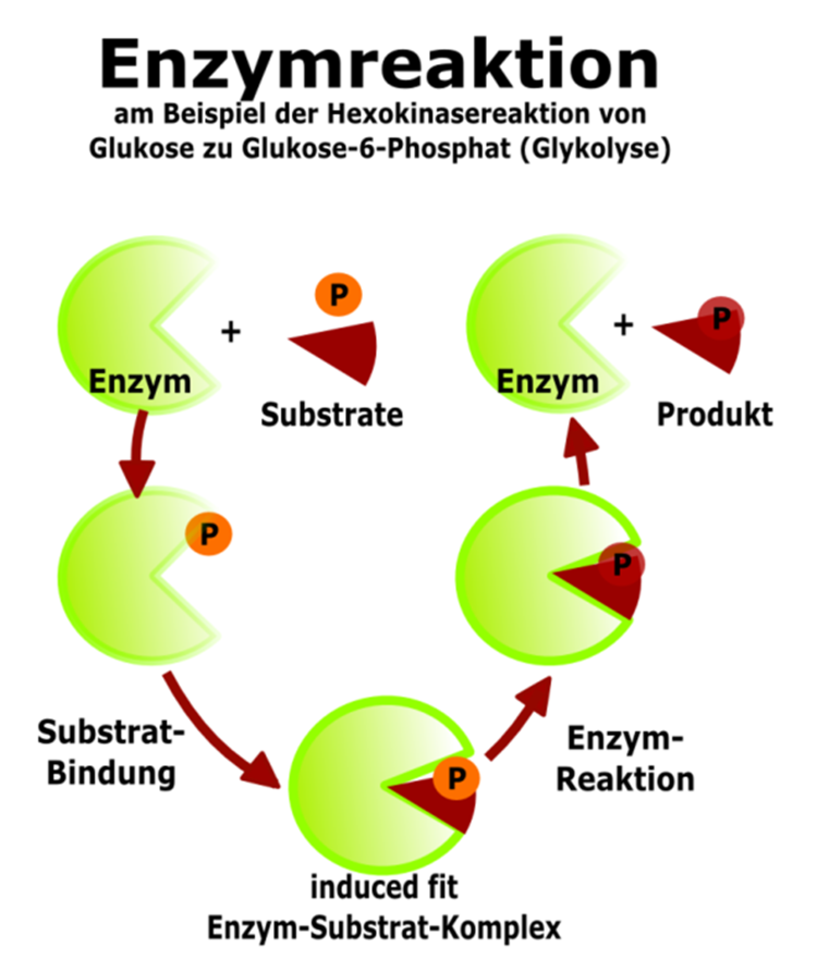 Substrat- und Wirkungsspezifität - Abitur-Vorbereitung