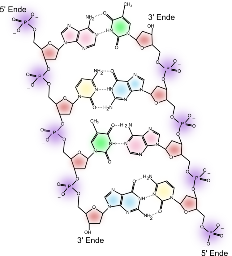 DNA_chemical_structure.png