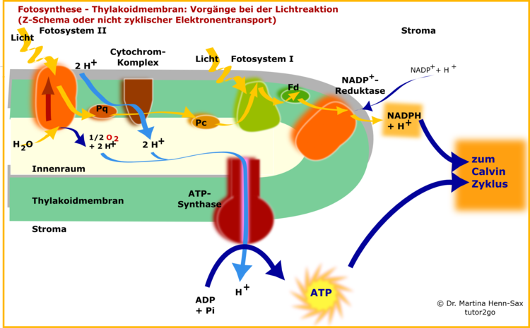 Elektronentransport und Fotophosphorylierung