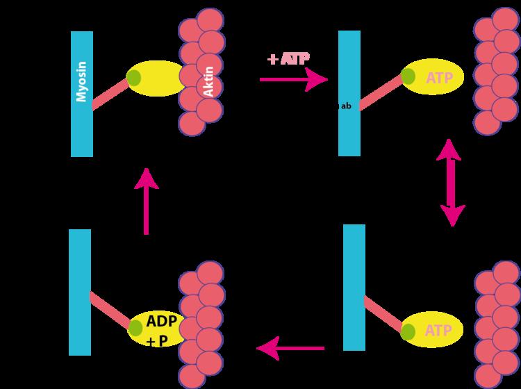 Muskelkontraktion - Neurobiologie - Abitur-Vorbereitung