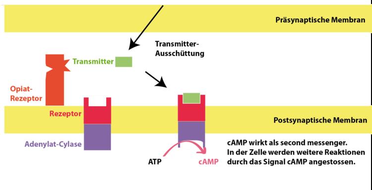Opiate - Neurobiologie - Abitur-Vorbereitung