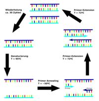DNA- Replikation - Molekularbiologie / Genetik