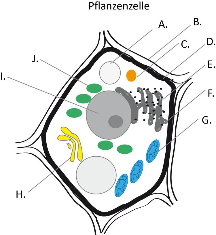 Eukaryontenzelle - Zytologie - Abitur-Vorbereitung