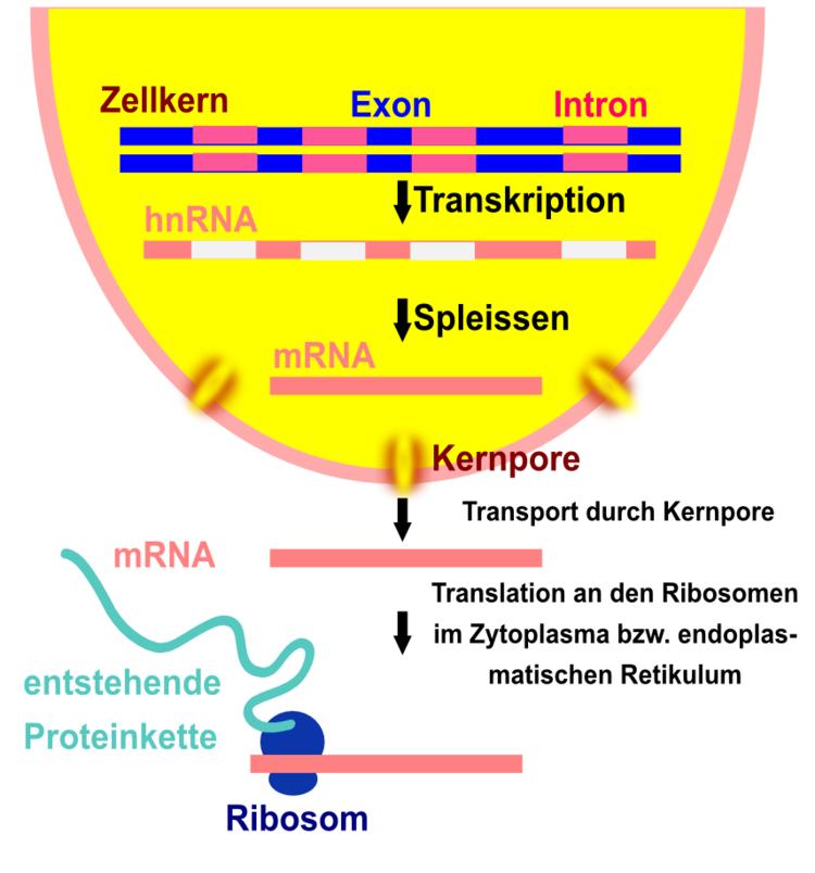 Proteinbiosynthese in Eukaryoten - Abitur-Vorbereitung