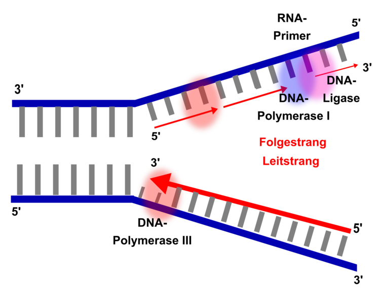 DNA-Replikation, Schema