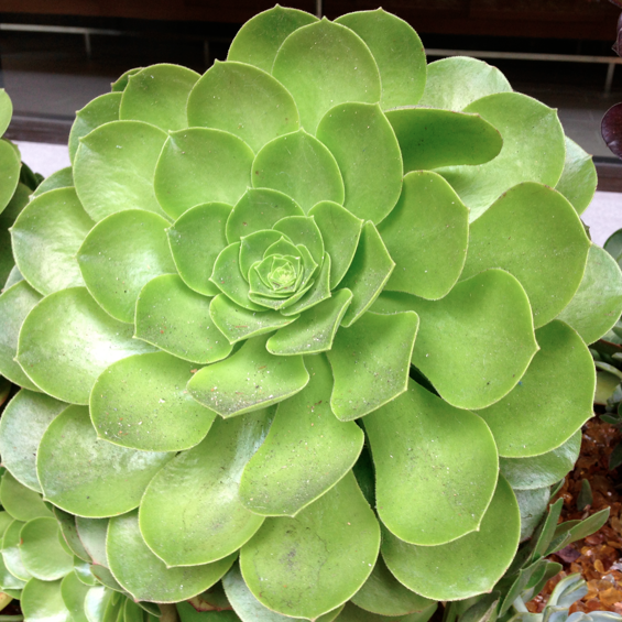 Sempervivum gesehen in San Francisco.