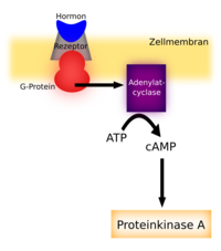 second messenger �ber cAMP und Adenylatcylase