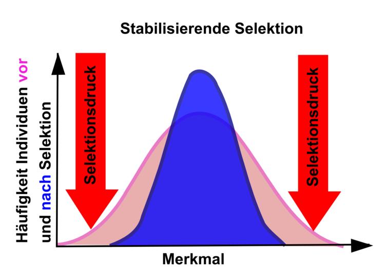 stabilisierende Selektion - Evolution - Online-Kurse