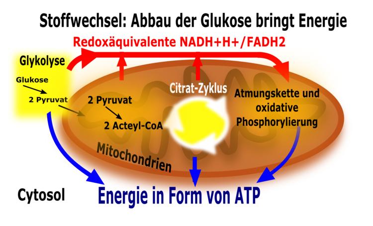 Der Citratzyklus - Stoffwechsel - Abitur-Vorbereitung