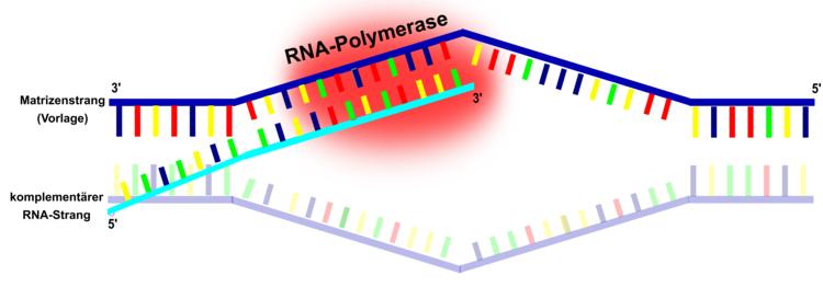 Transkription - Molekularbiologie / Genetik