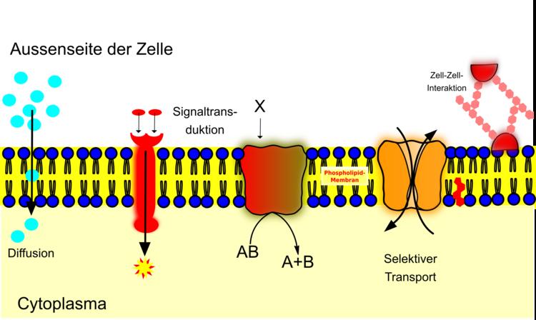 Transportmöglichkeiten durch die Membran
