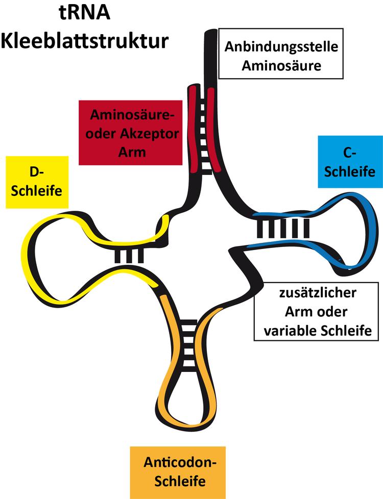 Die Aufgaben der RNAs (mRNA, tRNA) - Online-Kurse