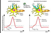 Synapsenvorgänge - Neurobiologie - Abitur-Vorbereitung