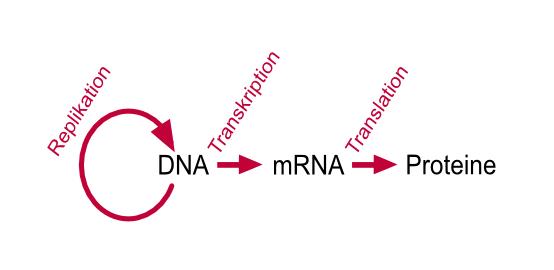 Vom Gen zum Protein - Molekularbiologie / Genetik